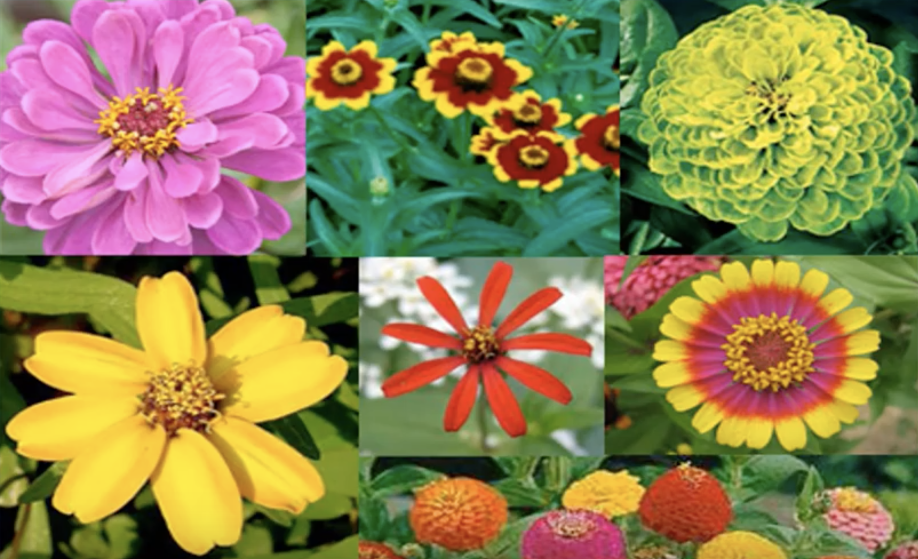 Plants That Survive And Thrive On The Obx Zinnia North Carolina Cooperative Extension