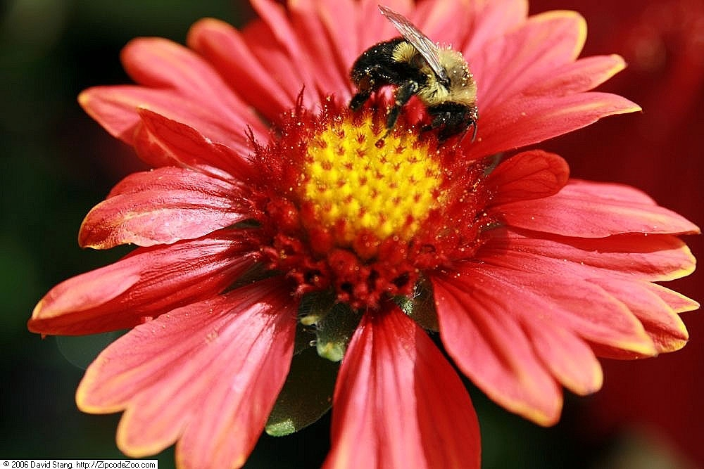 honey bee on gaillardia flower