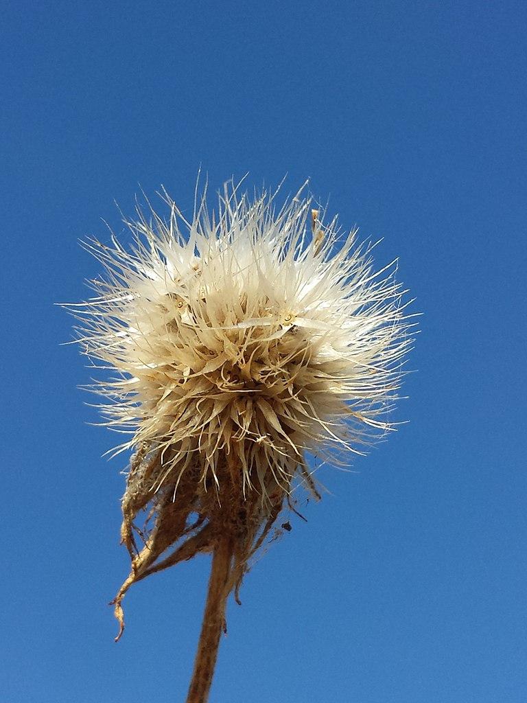 Gaillardia seed head