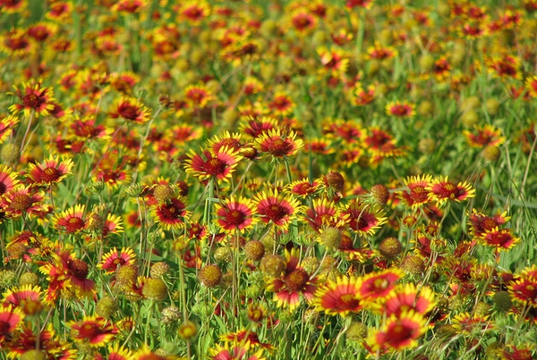 field of Gaillarda
