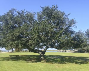 Cover photo for Plants That Survive and Thrive on the OBX - Live Oak
