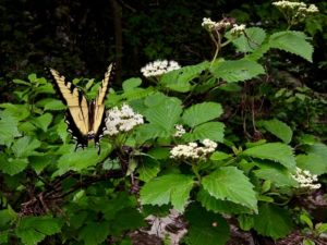 Cover photo for Plants That Survive and Thrive on the OBX - Viburnum
