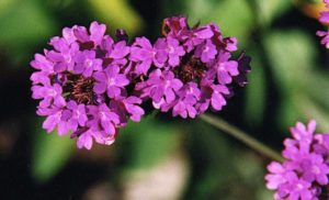 Cover photo for Plants That Survive and Thrive on the OBX – Verbena