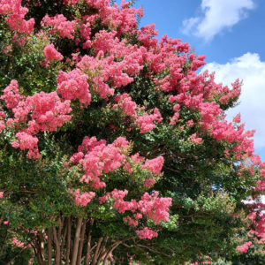 Cover photo for Plants That Survive and Thrive on the OBX - Crape Myrtle