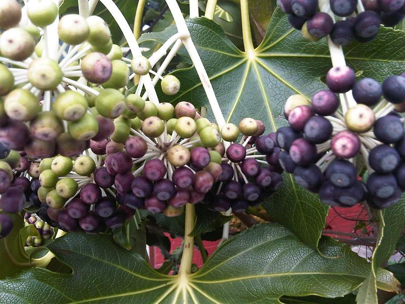 Fatsia japonica with ripened fruit