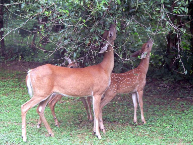 Deer grazing on tree