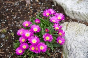 Cover photo for Plants That Survive & Thrive on the OBX - Delosperma