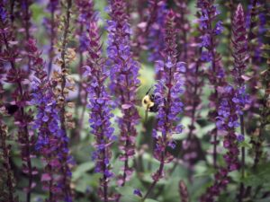 Cover photo for Plants That Survive & Thrive on the OBX - Salvia