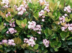 Cover photo for Plants That Survive & Thrive on the OBX - Indian Hawthorn