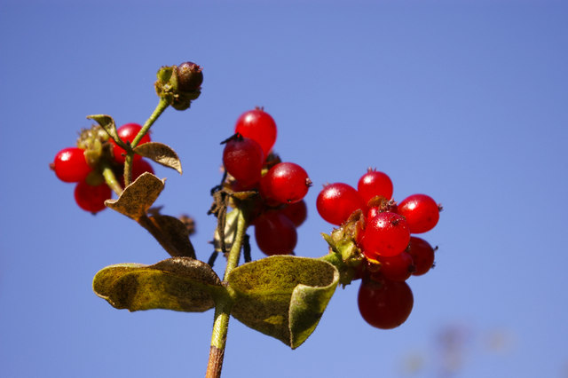 Coral honeysuckle berries