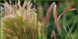 Cover photo for Plants That Survive and Thrive on the OBX - Purple Fountain Grass