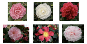 Cover photo for Plants That Survive and Thrive on the OBX - Camellia