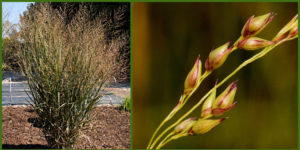 Cover photo for Plants That Survive and Thrive on the OBX - Switch Grass