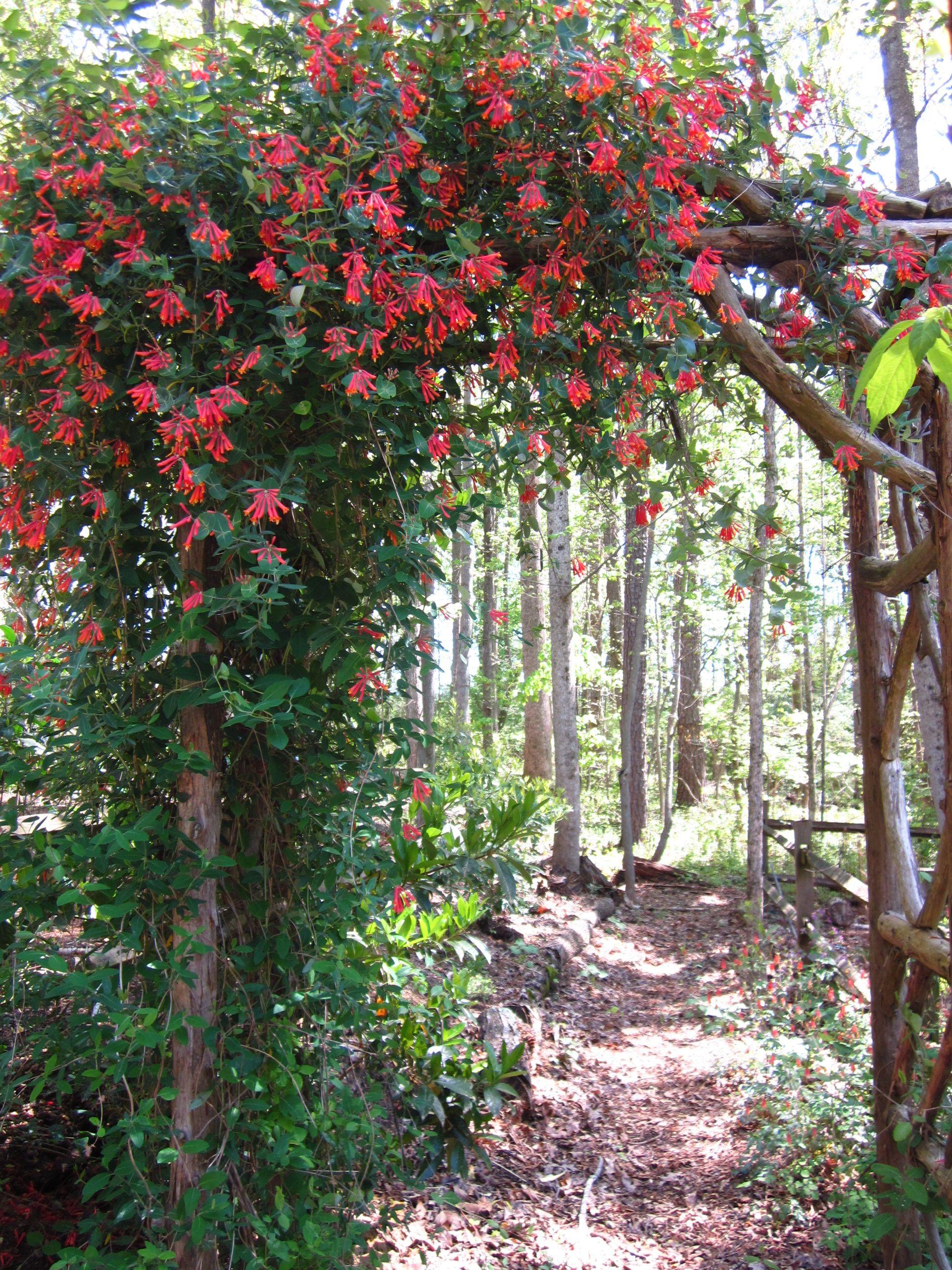 Coral honeysuckle vine
