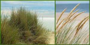 Cover photo for Plants that Survive and Thrive on the OBX - American Beach Grass