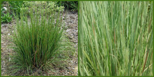Cover photo for Plants That Survive and Thrive on the OBX - Little Bluestem
