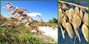 Cover photo for Plants That Survive and Thrive on the OBX - Sea Oats