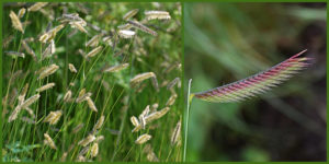 Cover photo for Plants That Survive and Thrive on the OBX - Blue Grama Grass