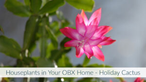 Cover photo for Houseplants in Your OBX Home - Holiday Cactus