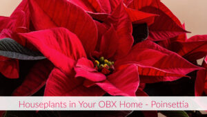 Cover photo for Houseplants in Your OBX Home - Poinsettia