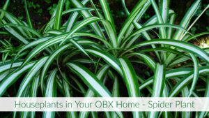 Cover photo for Houseplants in Your OBX Home - Spider Plant