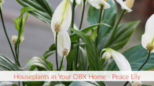 Cover photo for Houseplant in Your OBX Home - Peace Lilly