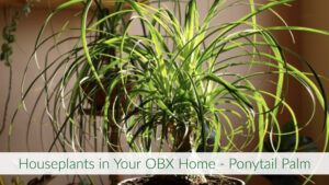 Cover photo for Houseplants in Your OBX Home - Ponytail Palm