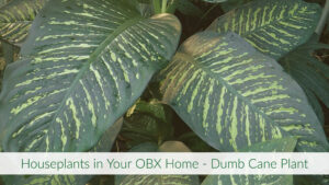 Cover photo for Houseplants in Your OBX Home - Dumb Cane