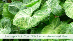 Cover photo for Houseplants in Your OBX Home - Arrowhead Plant